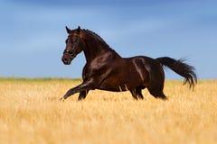 Cavallo scuro fatto funzionare nel campo giallo Fotografie Stock Libere da Diritti
