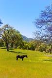 Cavallo scuro nei pascoli dei prati di California Fotografia Stock