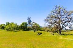 Cavallo scuro nei pascoli dei prati di California Fotografia Stock Libera da Diritti