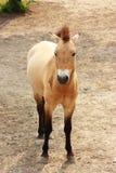 Cavallo selvaggio Immagini Stock