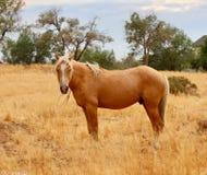 Cavallo selvaggio americano del mustang dello stallone selvaggio del palomino Immagine Stock