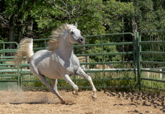 Cavallo selvaggio bianco immagine stock libera da diritti