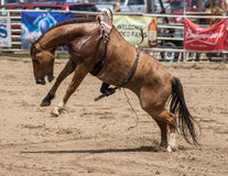Cavallo selvaggio Bucking Fotografia Stock Libera da Diritti