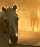 Cavallo selvaggio che guarda avanti diritto Fotografia Stock Libera da Diritti