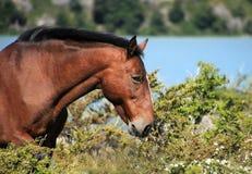 Cavallo selvaggio che pasce sull'erba immagine stock libera da diritti