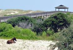 Cavallo selvaggio che riposa sulla spiaggia Fotografia Stock