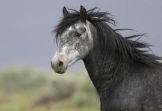 Cavallo selvaggio che si leva in piedi da solo Fotografie Stock Libere da Diritti