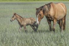 Cavallo selvaggio con il puledro sui outerbanks della Nord Carolina Fotografia Stock Libera da Diritti