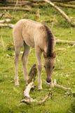 Cavallo selvaggio del bambino Fotografie Stock