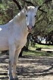Cavallo selvaggio del canyon del fiume Salt Fotografia Stock Libera da Diritti