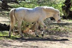 Cavallo selvaggio del canyon del fiume Salt Fotografia Stock