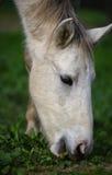Cavallo selvaggio del fiume Salt che pasce primo piano fotografie stock libere da diritti