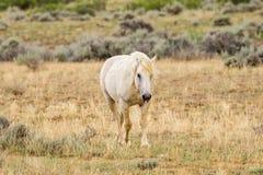 Cavallo selvaggio del mustang Fotografia Stock