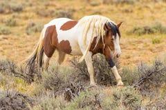 Cavallo selvaggio del mustang Fotografie Stock