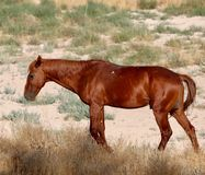 Cavallo selvaggio del mustang che pasce da solo nel deserto del Nevada Fotografia Stock Libera da Diritti