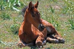 Cavallo selvaggio del mustang del puledro del bambino Fotografia Stock Libera da Diritti