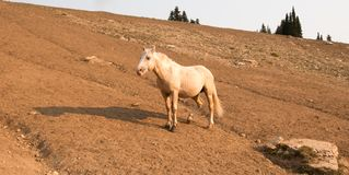 Cavallo selvaggio dello stallone del palomino con la gamba danneggiata su un pendio di collina nella gamma del cavallo selvaggio  Immagine Stock