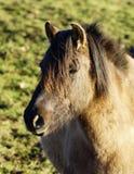 Cavallo selvaggio di Duelmener Immagine Stock Libera da Diritti