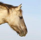 Cavallo selvaggio di Konik fotografie stock libere da diritti