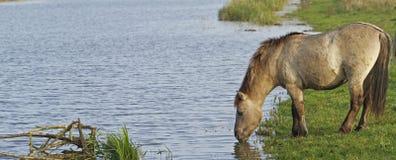 Cavallo selvaggio di Konik Fotografia Stock Libera da Diritti