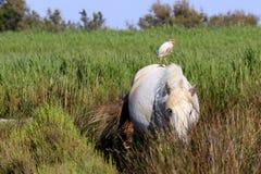 Cavallo selvaggio ed uccello in Camargue fotografie stock libere da diritti