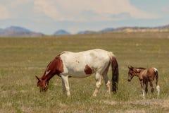 Cavallo selvaggio Mare With Her Cute Foal Fotografia Stock