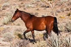 Cavallo selvaggio nel deserto di Mojave immagine stock