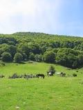 Cavallo selvaggio nelle montagne francesi Fotografie Stock Libere da Diritti
