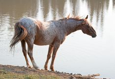Cavallo selvaggio - Roan Stallion rosso che scuote e che allunga fuori al waterhole nella gamma del cavallo selvaggio delle monta Immagini Stock Libere da Diritti