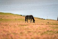 Cavallo selvaggio su fiield- di vetro rosa DALAT, VIETNAM Fotografia Stock