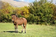 Cavallo selvaggio su un pascolo nella montagna di autunno Fotografia Stock Libera da Diritti