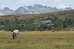 Cavallo selvaggio sul pascolo della montagna Immagine Stock Libera da Diritti