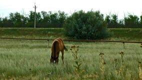 Cavallo solo che mangia ad un campo rurale archivi video
