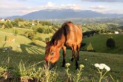 Cavallo solo che mangia erba su un pascolo della montagna Fotografia Stock