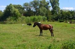 Cavallo sopra al prato Immagini Stock
