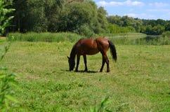 Cavallo sopra al prato Immagine Stock