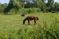 Cavallo sopra al prato Immagine Stock Libera da Diritti