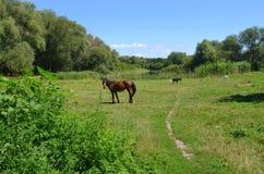 Cavallo sopra al prato Fotografia Stock Libera da Diritti