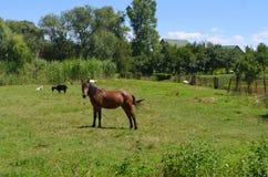 Cavallo sopra al prato Fotografie Stock