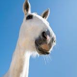Cavallo sorridente Fotografia Stock Libera da Diritti