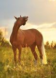 Cavallo sorridente, ritratto nel tramonto fotografia stock libera da diritti