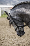 Cavallo spagnolo di razza fotografia stock