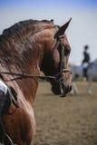 Cavallo spagnolo di razza immagine stock