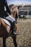 Cavallo spagnolo di razza fotografia stock libera da diritti