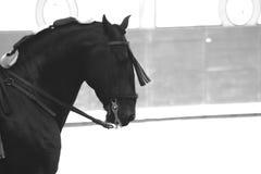 Cavallo spagnolo nero purosangue Spagna Madrid Fotografia Stock Libera da Diritti