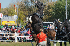 Cavallo spaventato alla fiera paesana Fotografia Stock Libera da Diritti