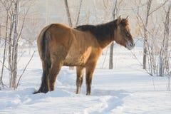 Cavallo su neve immagine stock