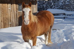 Cavallo su neve Fotografie Stock
