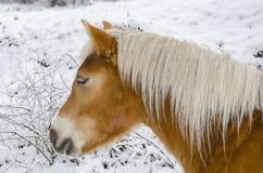 Cavallo su neve, vista laterale del torso superiore Immagini Stock