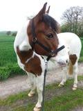 Cavallo su paese Immagine Stock